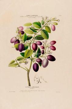 fruits-00898 - Plum, 2 [4222x6388]