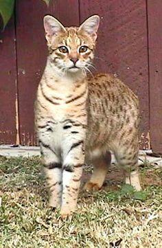 Client Brag Page - Savannah Cats - Select Exotics Jua Ini F2 Savannah #savannahcats #exoticcats #cats