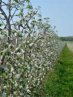 Super spindle apple trees