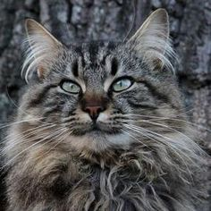 Welcome! Maine Coon Cat Nation is full of Coonie tips, advice and photos. Explore unique traits, cat care, and Maine Coon Kittens for sale. http://www.mainecoonguide.com/characteristics/