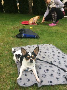 Csoportos tanfolyamok Petra, Dog Training, Boston Terrier, Magazines, Animals, Journals, Boston Terriers, Animales, Animaux