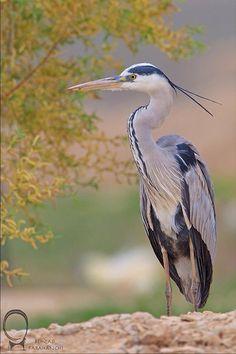 Grey Heron, MirzaBaylo Plain, Golestan National Park, Golestan Province, Iran (Persian: حواصيل خاكسترى / پارك ملى گلستان | دشت ميرزابايلو) Credit: Behzad Farahanchi