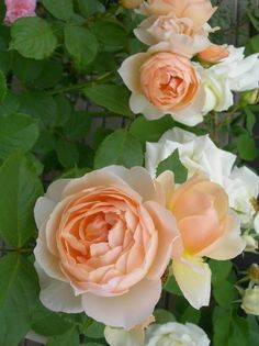 'The Shepherdess' |  Shrub.  English Rose Collection.  Production 2005 United Kingdom David Austin