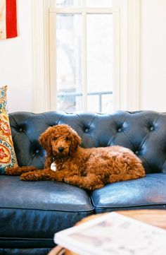 Red Standard Poodle Puppy|| this puppy came from where our Sunday is coming from.