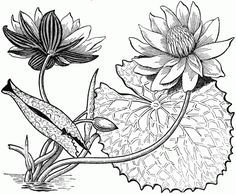 39 Gambar Sketsa Bunga Indah Sakura Mawar Melati Matahari Anggrek Teratai Aquascaping Menggambar Sketsa Bunga Teratai
