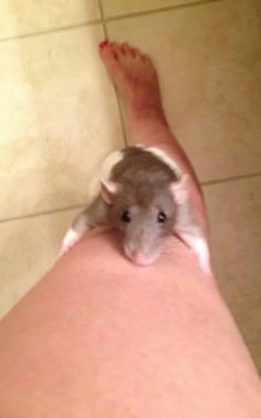 """""""Comin' up mom!"""" Rat owners constantly have to explain all the scratches."""