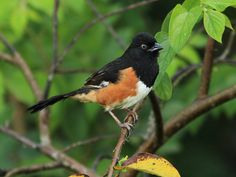 birds of ga | Another towhee had decidedly reddish eyes, indicating it was likely a ...