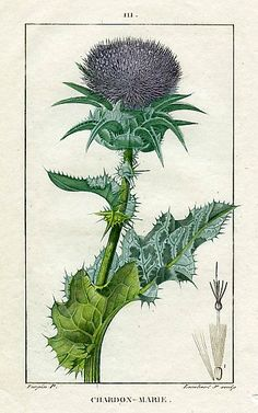 Pierre Turpin Ladies Thistle (Carduus) 1818