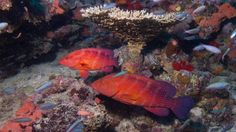 Two large coral trout ( Plectropomus leopardus ) swim through a coral reef on Taveuni Island in Fiji. Types Of Ocean, Fly To Fiji, Ocean Habitat, Ocean Ecosystem, Coral Bleaching, Underwater Images, Marine Reserves, Palm Resort, Beautiful Sunrise