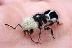 Découvrez la fourmi-panda, cet adorable insecte chilien à la piqûre extrêmement…