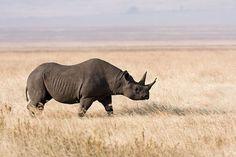 Javan Rhinoceros, critically endangered red listed 2009
