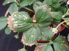 Nem betegség, éhezik - az eper - gazigazito.hu Plant Leaves, Succulents, Plants, Succulent Plants, Planters, Plant, Planting
