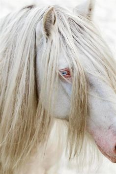 I used have a cremello Quarter Horse mare. You'd swear she was an albino until she got wet & you could see a little white sock on her hind leg & a pretty white star on her forehead. It was like her own little secret. ~W