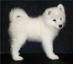 samoyed puppy <3