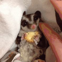 Holy crap sugar gliders are cute
