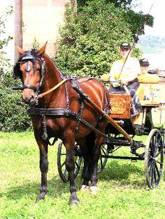 Alt-Wurttemberger Horse...