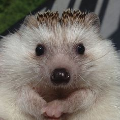 Meet Biddy: The Most Traveled Hedgehog in the...