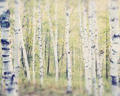 Tree Photography, Birch Tree Art, Landscape Photography, Tree Photo, Woodland Art, Tree Photograph, Tree Print by RockyTopPrintShop on Etsy https://www.etsy.com/listing/86537781/tree-photography-birch-tree-art