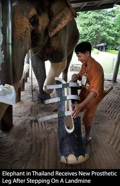 Elephant in Thailand Receives Prosthetic Leg