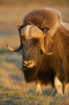 The Musk Ox | Ovbios Moschatus, biologically the animal's more closely related to goats than to oxen.