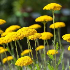 To create a perennial summer cutting garden, you need full sun perennials that are fragrant, have long stems, re-bloom and are low maintenance. This list has a great selection of plants that will work for gardens in zone 7 or sun Full Sun Shrubs, Full Sun Perennials, Best Perennials, Full Sun Plants, Flowers Perennials, Planting Flowers, Flower Gardening, Full Sun Flowers, Cut Flowers