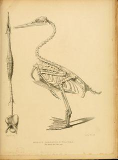 www.origin-of-style.com Scientific Illustration Illustrations, Birds, Skeleton, Antique.