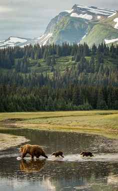 BEARS IN THEIR ENVIRONMENT  The beauty of Lake Clark National Park provides a magnificent backdrop for a bear sow and her cubs.  Lake Clark National Park  |  Alaska  For more photos of international wildlife, go to http://rickcollinsphotographyonline.com