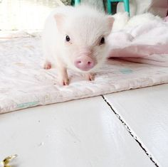 Mini pig on a blanket