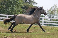 I want this Highland Pony! Pony Breeds, Horse Breeds, All The Pretty Horses, Beautiful Horses, Hackney Horse, Animals And Pets, Cute Animals, Highland Pony, Welsh Pony