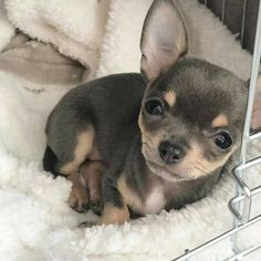 Effective Potty Training Chihuahua Consistency Is Key Ideas. Brilliant Potty Training Chihuahua Consistency Is Key Ideas. Cute Puppies, Cute Dogs, Dogs And Puppies, Doggies, Cute Baby Animals, Funny Animals, Amstaff Puppy, Chihuahua Love, Teacup Chihuahua Puppies