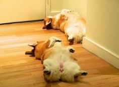 Two Cybered-Out Corgis