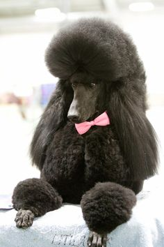 """""""London""""at the Westminster Dog Show in NYC Standard Poodle Dog Photography Puppy Hounds Chiens Puppies"""