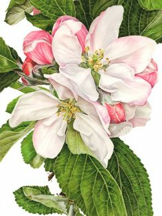 Apple Blossom 'James Grieve' - watercolor by Anna Mason