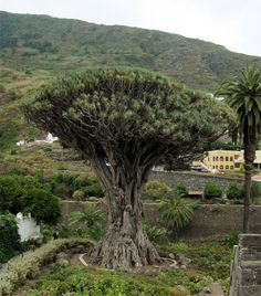 The Dragon Tree at Icod de los Vinos in Tenerife, one of the Canary Islands, is quite an unusual specimen. It has been said to be between 650 and 1,500 years old, though experts can't say for sure since it doesn't have a single trunk, but rather many small trunks that cling together as they grow upward.