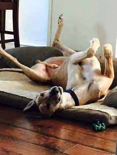 Trooper has his weekend roach on! #greyhounds #galtx