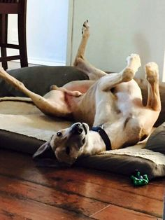 Trooper has his weekend roach on! #greyhounds #galtx