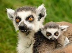 ring-tailed lemur babies - Bing Images
