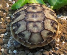 Garden /Mediterranean Tortoises-Home Bred Hermanns Hatchlings For Sale. Hatched - August Eating well -Fed on greens-very lively-lovely shells. Hermann Tortoise, Tortoise House, Tortoises, Large Animals, Eating Well, Shells, Garden, Conch Shells, Turtles