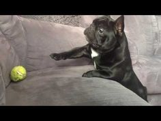 Uploaded in 2013 by YouTube user Piotr Nowak , we see his bulldog BlanKy trying to be like any other dog. | This Bulldog Can't Reach His Tennis Ball And It's So Adorable