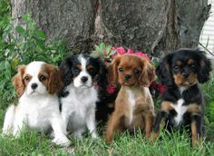 Cavalier King Charles Spaniel Breeder and exhibitor in MN. Raising beautiful, healthy, Cavalier puppies in our home. We occasionally have Cavalier puppies available as pets. We are located in Princeton, MN. King Charles Puppy, Cavalier King Charles Dog, Cavalier King Spaniel, Cute Puppies, Cute Dogs, Puppies Puppies, Adorable Babies, Roi Charles, Prince Charles