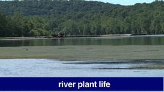 Riverwatch July 15, 2016  MOre aquatic plant life being seen on the Delaware River this summer.