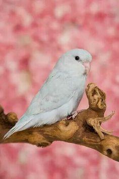 Albino Parakeet
