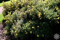 Potentilla fruticosa 'Goldteppich' - Shrub - whole plant - Mid Summer - © plantdatabase - #own