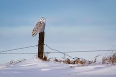 Alberta Snowy Owl - One of the highlights of our drive up to the Canadian Rockies was spotting snowy owls in Southern Alberta. We could find them perched on telephone poles looking for voles. They were relatively comfortable with us getting close while they were on the poles. However, they would get extremely skiddish and fly away when they were on the ground or somewhere more scenic.  We got lucky with this shot of a female snowy owl on a fence post. This shot was taken at an effective…
