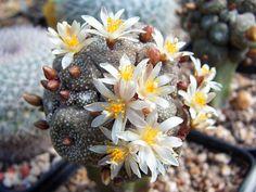 Blossfeldia liliputiana is the smallest cactus species in the world... #blossfeldia #succulentopedia #cactus #CactiAndSucculents #WorldOfSucculents #cacti #CactusLove #SucculentPlant #SucculentPlants #cactusmania #CactusLover #CactusObsession #CactusCollection #plant #plants #CactusGarden #garden #DesertPlants #nature #blooming #BloomingCactus #flower #flowers #CactusFlower #CactusFlowers