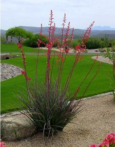 Exceptionnel ... Native Succulent From Southern TX And Northeastern Mexico   A Xeric,  Long Blooming, Good Looking, Very Low Maintenance Plant That Attracts  Hummingbirds.