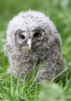 earth-song:    Juvenile Ural Owl  Greifvogelstation Hellenthal, © Wolfgang Holtmeier