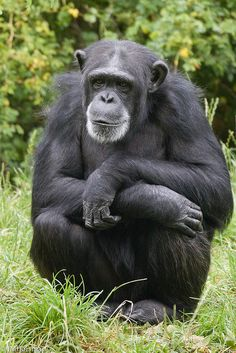 Chester Zoo Chester has a large, mixed ages to 2 yrs) group of chimpanzees. Monkey Types, Types Of Monkeys, Baby Animals, Cute Animals, Magnificent Beasts, Chester Zoo, Wild Lion, Ape Monkey, Orangutans