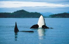 Orcas off Vancouver Island, Canada