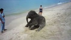 Baby Elephant Rolls Around Funny Animal Videos